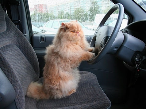 Shady Paws Pet Parking Franchise - Kitty