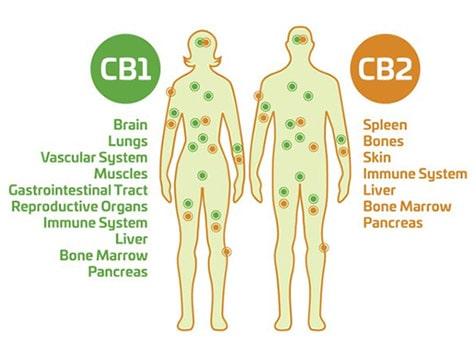 Purely Natural CBD - Cannabinoid Receptors