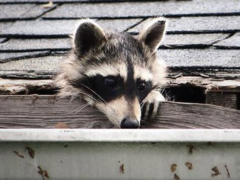 Complete Pest Solutions Racoon