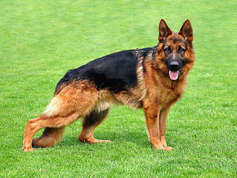 Always Faithful Dog Training German Shepherd