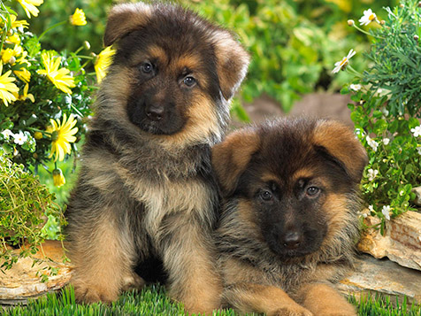 Always Faithful Dog Training Shepherd Puppies